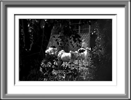 farmer, oxen, Burma, Myanmar