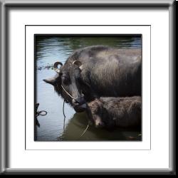 India,water buffalo,farm animals